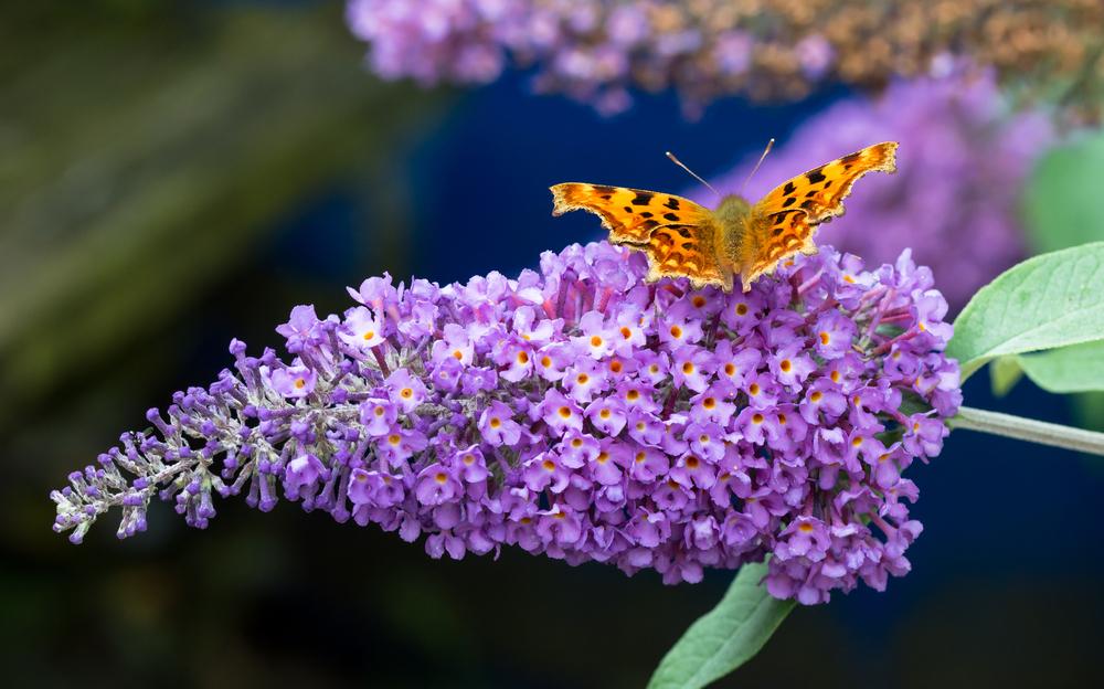 budleja dawida z motylem