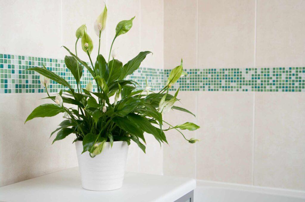 kwiat idealnie nadający się do łazienki